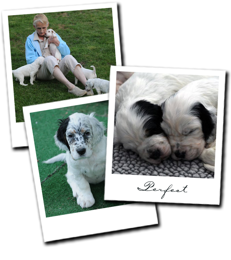 English Setter Puppies In Minnesota Aerden Setters